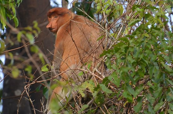 Abai Jungle Lodge:                   Proboscis Monkey