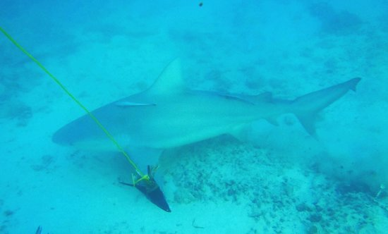 Bimini Big Game Club Resort & Marina:                   Bimini Bull Run Shark Cage Experience
