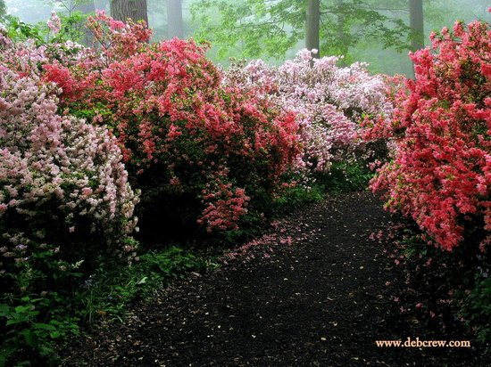 Winterthur Museum, Garden & Library:                   Azalea Walkway - an explosion of color!