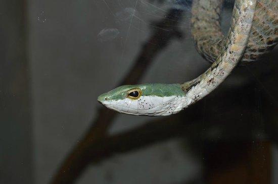 Bio-Ken Snake Farm:                   SERPENTE FOGLIA