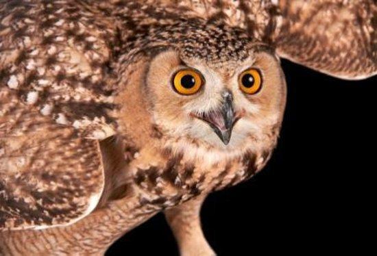 Awendaw, ساوث كارولينا: Savigny's Owl