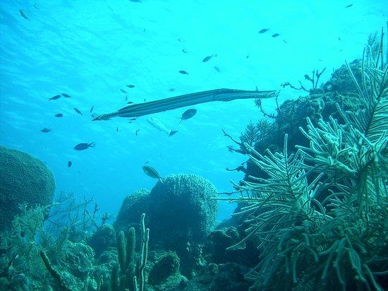 Happy Fish Divers:                   Trumpet Fish