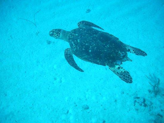 Happy Fish Divers:                   Sea Turtle