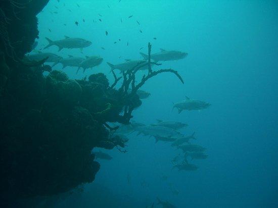 Happy Fish Divers:                   Tarpons