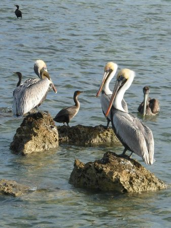 Chesapeake Beach Resort:                   Pelicans
