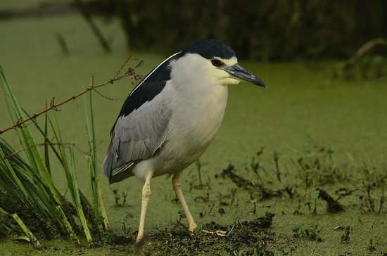 Champagne's Cajun Swamp Tours:                   black crowned night heron