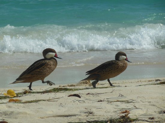 Two ducks at Sapphire Beach
