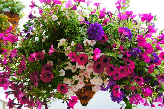 Spring Green Motel: One of our many flower baskets.