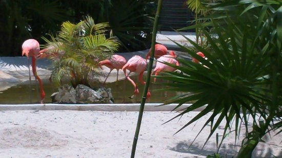Mayan Palace Riviera Maya :                   Flamingos on site of premises