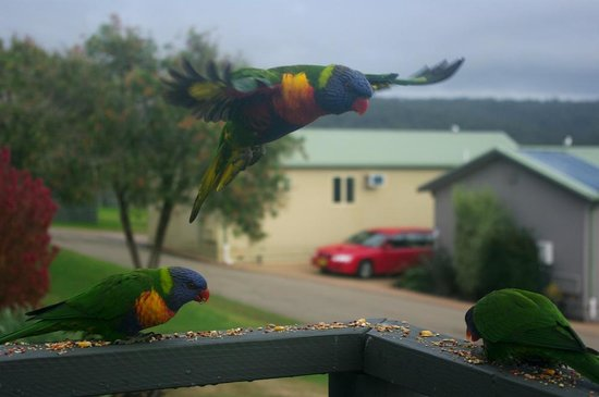 NRMA  Merimbula Beach Holiday Park:                   Rainbow lorikeets visit for breakfast