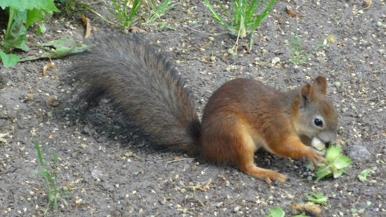 Wild squirrel in Pavlovsk Park