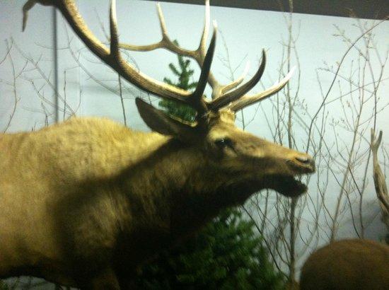 The Den - Jasper's Wildlife Museum :                   Elk