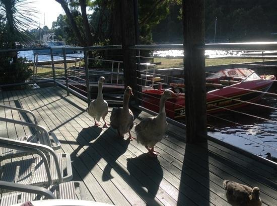 Strahan Village:                   our geese arrived for a vist