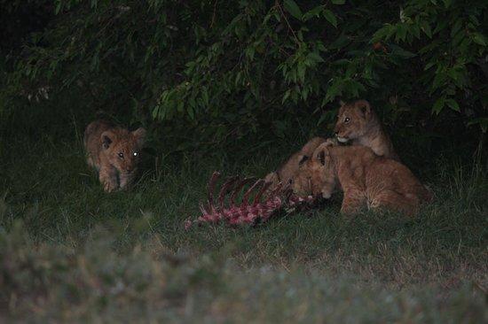 East Africa Adventure Tours and Safaris - Day Tours:                   Arrivano I giovani leoncini x la colazione