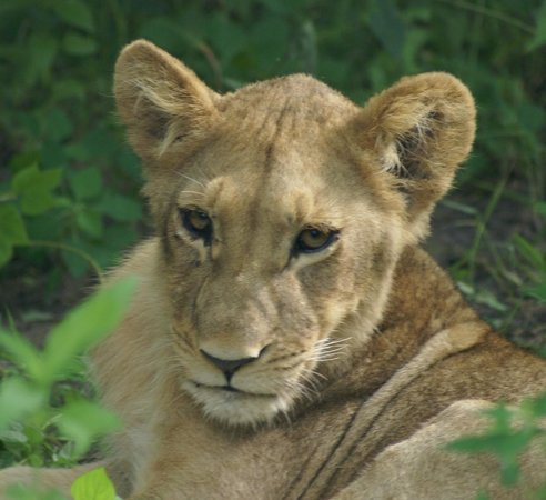 Wilderness Safaris DumaTau Camp:                   Lion cub resting