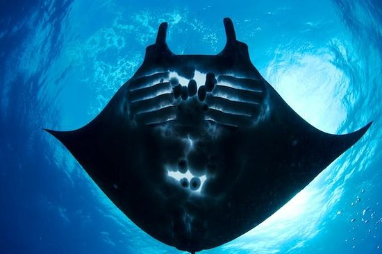 Freedom Divers Phuket: Black Manta, only with Freedom Divers on our Indonesia cruises