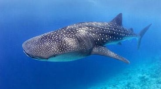 ฟรีดอม ไดเวอส์ ภูเก็ต: Whale Sharks, a possible sighting at many of our liveaboard destinations