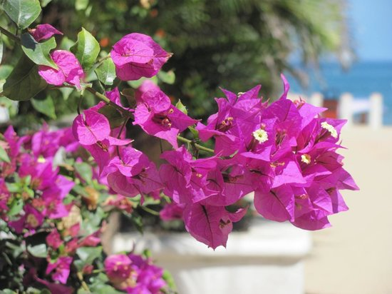 Hotel Decameron Los Cocos:                   Lovely flowers