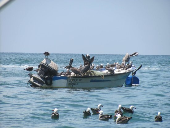 Decameron Los Cocos:                   Pelicans having lunch