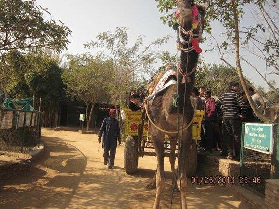 Jhajjar, India:                   camel riding