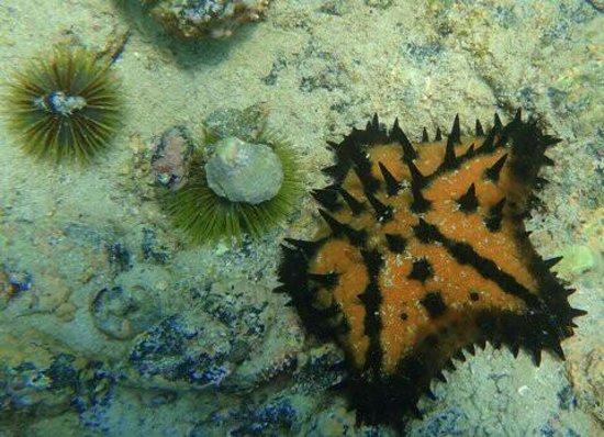 Concha de Perla: Estrella y mar