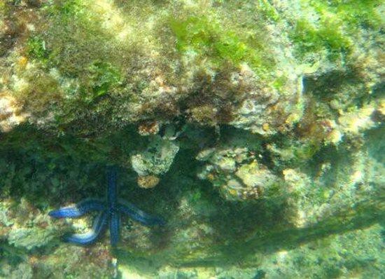 Concha de Perla: Estrella azul