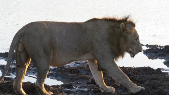 Mkuze Falls Lodge:                   lion seen first day out!