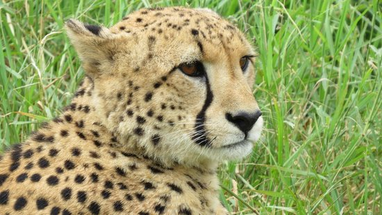 Mkuze Falls Lodge :                   one of two cheetahs
