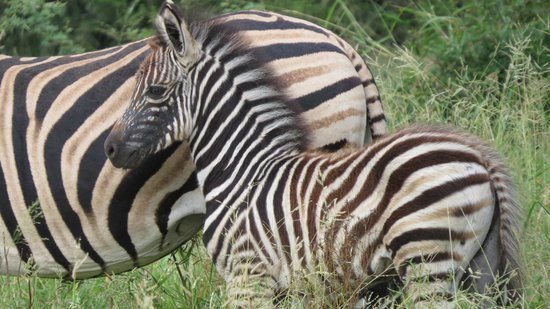 Mkuze Falls Lodge :                   Baby zebra with mother