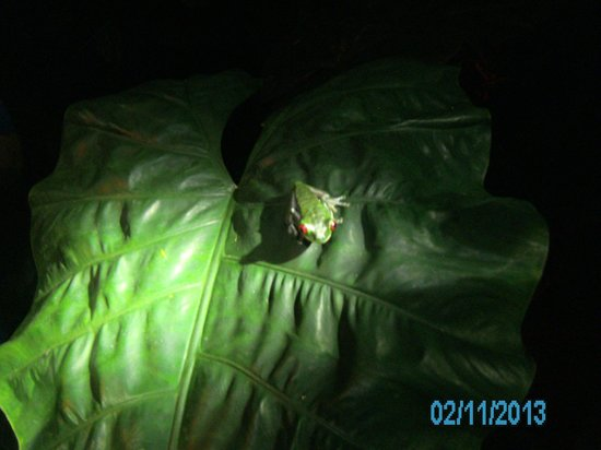 Drake Bay, Costa Rica:                   Tree frog