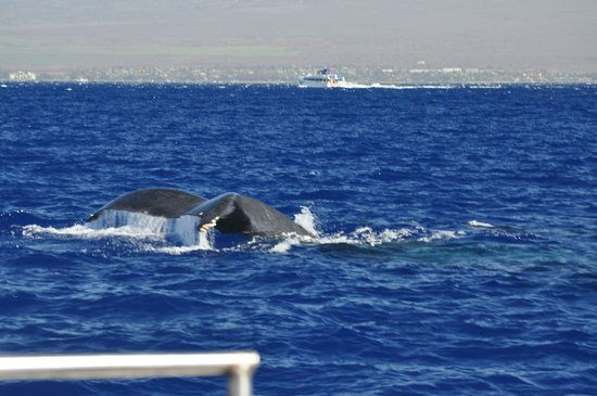 Frogman Whale Watch:                   Whale tail