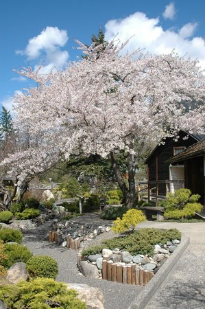 Nikkei Internment Memorial Centre: Sakura in bloom