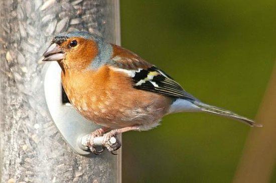 Speyside Heather Centre:                   Male chaffinch in the feeding station