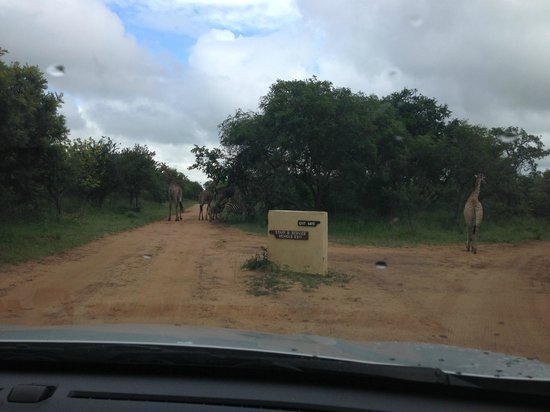 Pezulu Tree House Game Lodge:                   Traffic jam, Pezulu style
