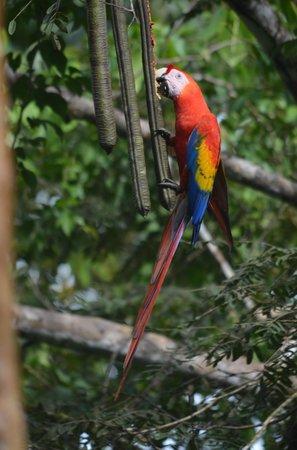 Bolita Hostel:                   Scarlet Macaw