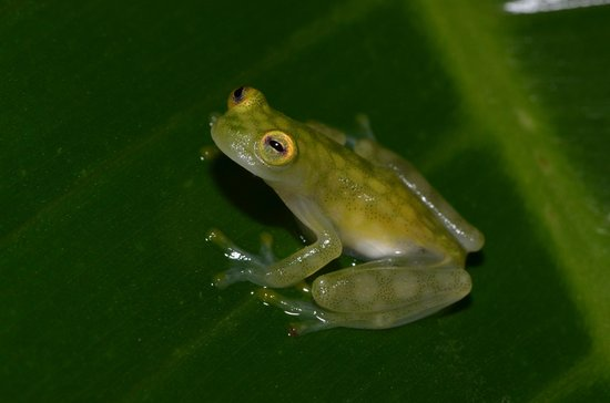 Bolita Hostel:                   Glass frogs found on the property