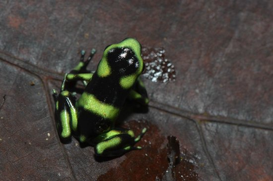 Bolita Hostel:                   Juvenile Black and Green Dart Frog