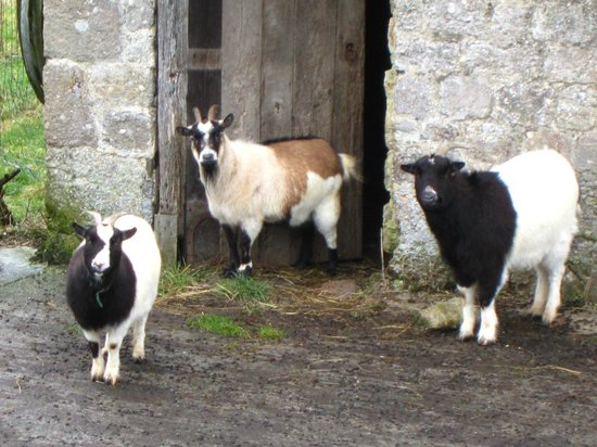 Normandy Inn :                   goat friends