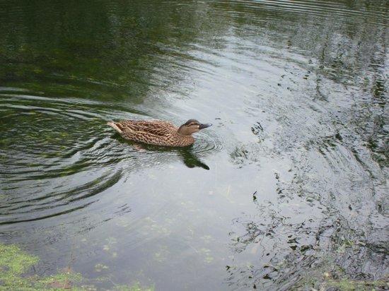 Normandy Inn :                   Dolly the duck