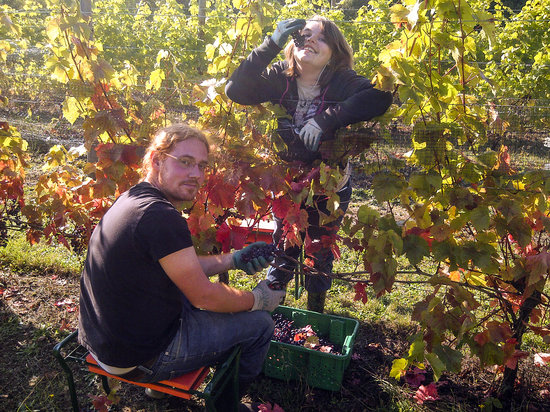 Rocky Creek Winery: picking grapes for our award winning wines