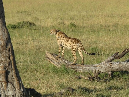 Mara Explorer Camp:                   Cheetah