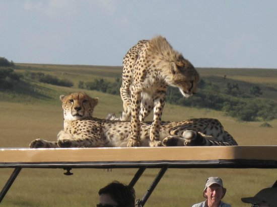 Mara Explorer Camp:                   Cheetahs with a penchant for car roofs