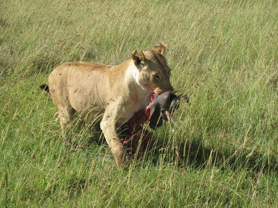 Mara Explorer Camp:                   Lioness with wathog kill