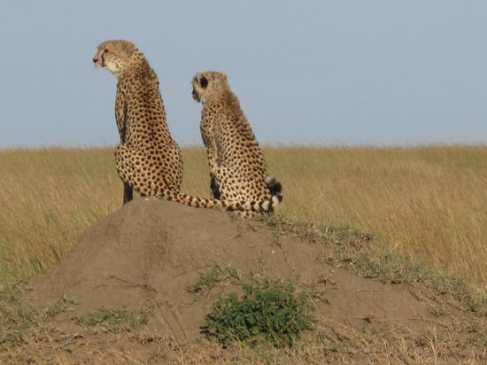 Mara Explorer Camp :                   Malaika and her cub