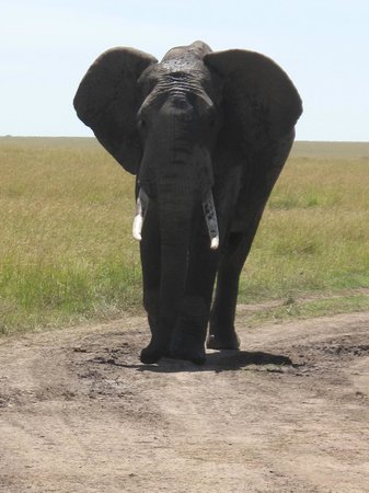 Mara Explorer Camp:                   Elephant