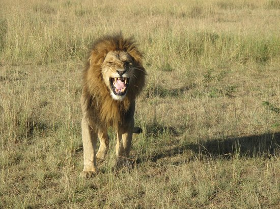 Mara Explorer Camp:                   Lion
