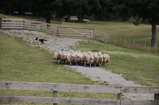 Sheepworld : Bordercollie at work
