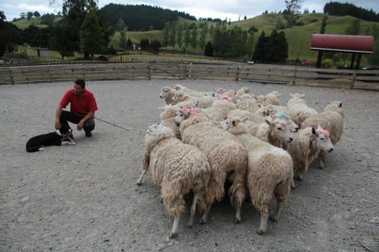 Sheepworld : Die Herde wird von den Hunden selbständig in die richtige Richtung dirigiert
