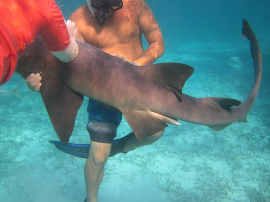 Grand Caribe Belize Resort and Condominiums :                   snorkeling with nurse sharks