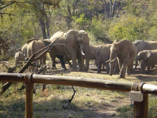 Tuningi Safari Lodge:                   Elephants drinking next to the pool